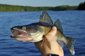 Walleye in hand — Stock Photo
