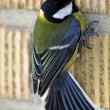 Great tit bird on the wall — Stock Photo