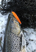 Seatrout - winter-trophy — Stockfoto