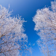 White frozen trees and blue sky — Stock Photo