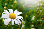 Daisy01 — Stock Photo