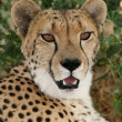 Cheetah Portrait — Stock Photo #3982853