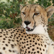 Cheetah Portrait — Stock Photo #3982882