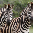 Zebra Couple — Stock Photo