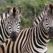 Zebra Couple — Stock Photo