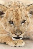 Lion Cub Profile — Stock Photo