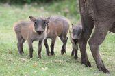 Cute Warthog Piglets — Foto de Stock