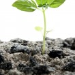 Stock Photo: Seedling in Ashes