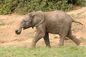 Young Elephant Running — Stock Photo
