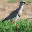 Crowned Plover Bird - Stock Photo