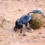 Dung Beetles — Stock Photo #5090324