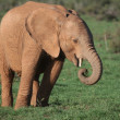 Young African Elephant — Stock Photo #5090410