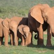 African Elephant Family — Stockfoto