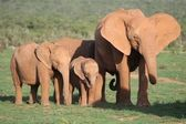 African Elephant Family — Stock Photo