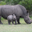Stock Photo: Baby Rhino with Adult