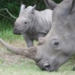 Stock Photo: Baby Rhino with it's Mother