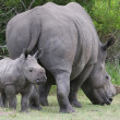 Stock Photo: baby rhinoceros and mom