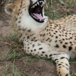 Cheetah Wild Cat Teeth - Stockfoto