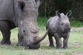 Baby Rhino and Mother — Stock Photo