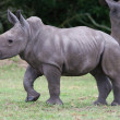 Stock Photo: Young Rhinoceros