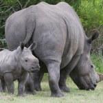 Baby Rhinoceros and Mom — Stock Photo #5377717