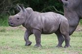 Young Rhinoceros — Stock Photo