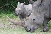 Baby Rhino with it's Mother — Stock Photo