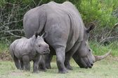 Baby Rhinoceros and Mom — Stock Photo