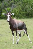 Bontebok Antelope — Stock Photo