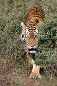 Tiger Prowling — Stock Photo