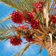 Date palm. — Stock Photo