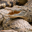 Nile crocodile. — Stock Photo