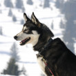 Nice nordic dog in the snow - Stock Photo