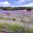 Lavender in the landscape — Stock Photo #4289767