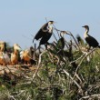 Cormorans — Stock Photo