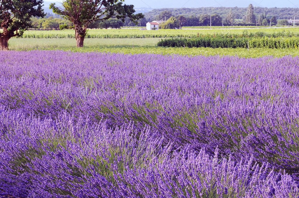 Image shows a lavender field in the region of Provence, southern France  Stock Photo #4289765
