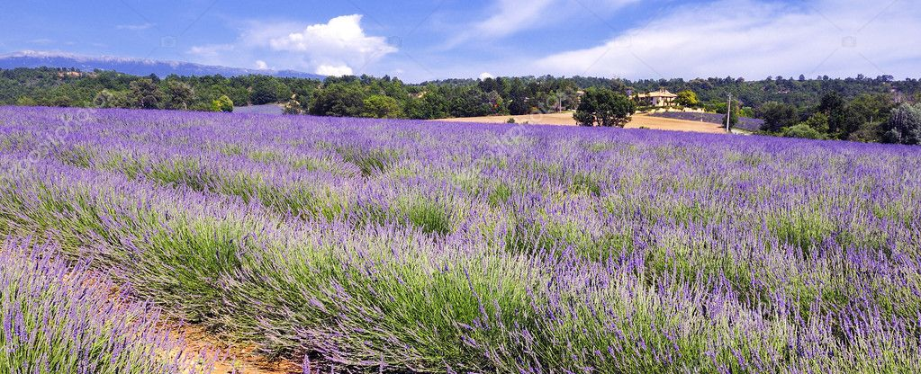Image shows a lavender field in the region of Provence, southern France — Stock Photo #4289767