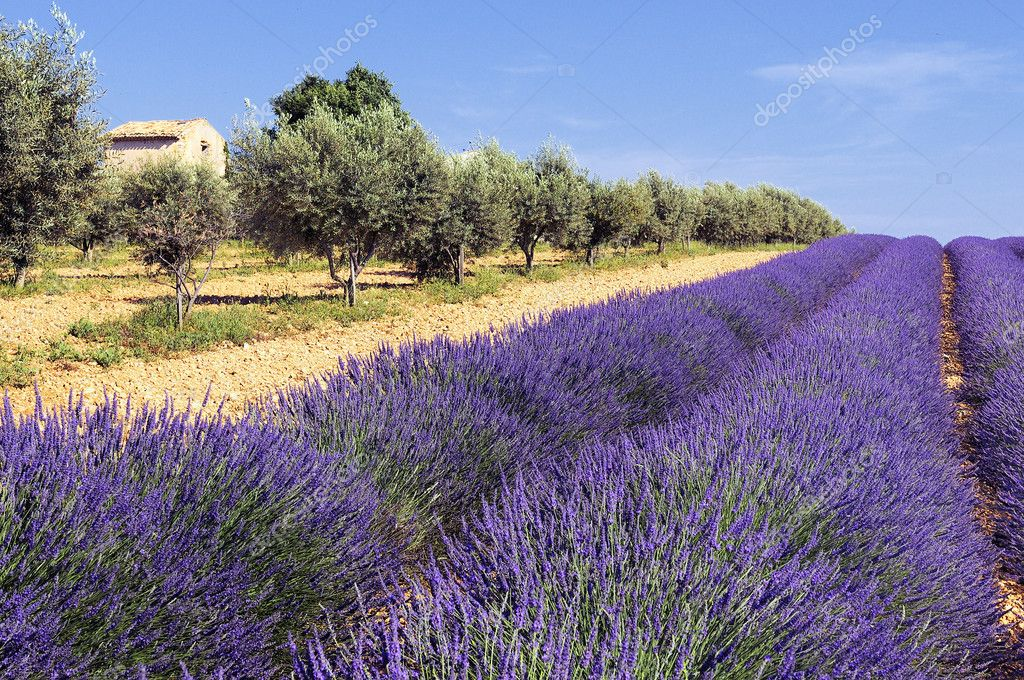 Image shows a lavender field in the region of Provence, southern France — Stock Photo #4834166