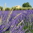 Lavender in the landscape — Stock Photo #4998188