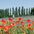 Walk in the fields of poppy and lavender - Stock Photo
