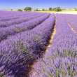 Lavender in the landscape — Stock Photo #5065633