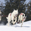 Stock Photo: Sportive dogs in mountain