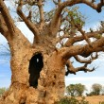 ������, ������: Baobabs in savanna
