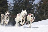 Perros deportivos en la montaña — Foto de Stock