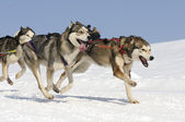 Sportive dogs in the mountain — Foto Stock