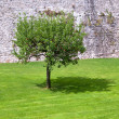 Lone apple tree and its shadow — Stock Photo