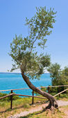 Old curve olive tree — Stock Photo