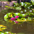 Lily Pond - Stock Photo