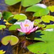 Royalty-Free Stock Photo: Lily Pond