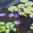 Lily Pond — Stock Photo #5308159